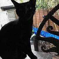 Adopt A Pet :: Juju - Lauderhill, FL
