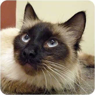 Siamese cat adoption chicago - 5 ptas coin 1999