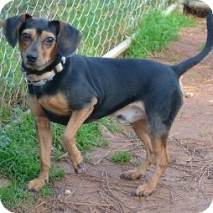 Dachshund/Beagle Mix Dog for adoption in Athens, Georgia - Icee