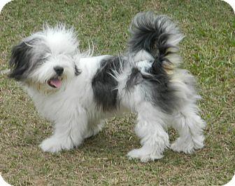 Ceasar | Adopted Puppy | Umatilla, FL | Shih Tzu/Old ...