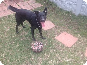 German Shepherd Dog/Labrador Retriever Mix Puppy for adoption in McKeesport, Pennsylvania - Lucy