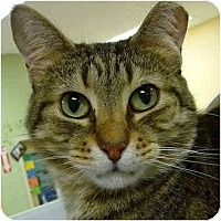 Domestic Shorthair Cat for adoption in Grayslake, Illinois - Mindy