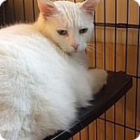 Adopt A Pet :: Peyton(4 paw declaw) deaf - Sterling Hgts, MI