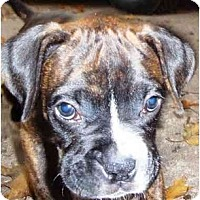 Adopt A Pet :: Moose - Sunderland, MA