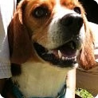Adopt A Pet :: Petey - Grafton, MA