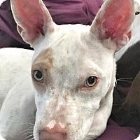 Adopt A Pet :: Bunny - San Francisco, CA