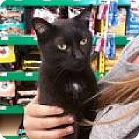 Domestic Shorthair Cat for adoption in Chicago, Illinois - Cookie
