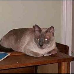 Photo 2 - Siamese Cat for adoption in Austin, Texas - Douglas