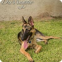 Adopt A Pet :: DiMaggie - Phoenix, AZ