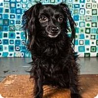 Chihuahua Dog for adoption in Statewide and National, Texas - Freddie