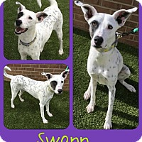 Dalmatian Mix Dog for adoption in Fort Collins, Colorado - Swann