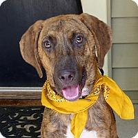 Hound (Unknown Type) Mix Dog for adoption in Baton Rouge, Louisiana - Cap
