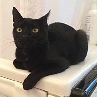 Domestic Shorthair Kitten for adoption in Santa Rosa, California - Sidney