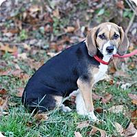 Adopt A Pet :: Baxter - Rochester, NH