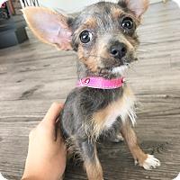 Adopt A Pet :: Chocolate Pie - Agoura Hills, CA