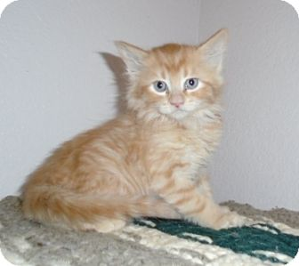 Domestic Mediumhair Kitten for adoption in Evergreen, Colorado - Kitten Ford
