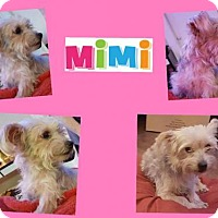 Yorkie, Yorkshire Terrier Mix Dog for adoption in Plano, Texas - MIMI