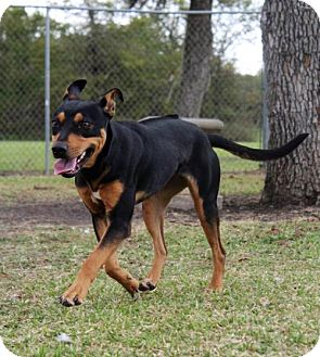 Shepherd (Unknown Type)/Rhodesian Ridgeback Mix Dog for adoption in Lake Jackson, Texas - Lucille