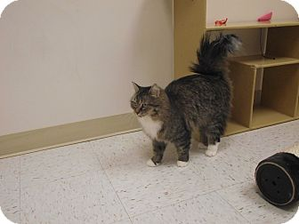 Domestic Mediumhair Cat for adoption in Chambersburg, Pennsylvania - Edie