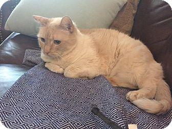 Siamese Cat for adoption in Davis, California - Phoebe