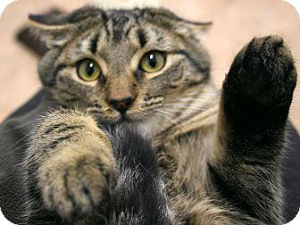 Domestic Shorthair Kitten for adoption in Republic, Washington - Grumpy VALENTINE'S SPECIAL! 50