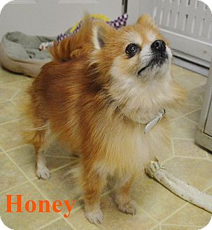 Pomeranian Mix Dog for adoption in Fryeburg, Maine - Honey