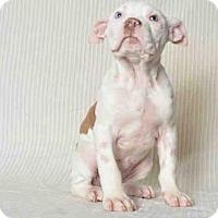 Adopt A Pet :: TILLY - Ukiah, CA