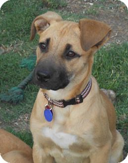 German Shepherd Dog/Labrador Retriever Mix Puppy for adoption in Torrance, California - PEACHES