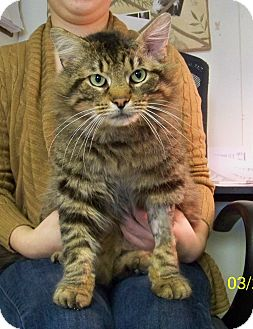 Domestic Mediumhair Cat for adoption in Dover, Ohio - Simba
