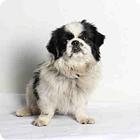 Adopt A Pet :: Domino - SO CALIF, CA