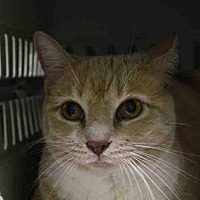 Domestic Mediumhair Cat for adoption in New York, New York - Trudy