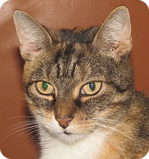 Domestic Shorthair Cat for adoption in New Windsor, New York - Jinx