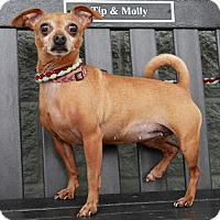 Adopt A Pet :: Ginger - Maryville, TN