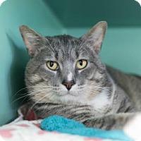 Adopt A Pet :: Big Tom - Bellevue, WA