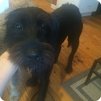 Schnauzer (Giant)/Poodle (Standard) Mix Dog for adoption in Rocky Hill, Connecticut - Pedro