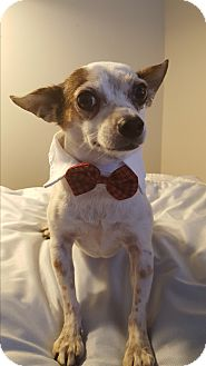 Chihuahua/Terrier (Unknown Type, Small) Mix Dog for adoption in Los Angeles, California - SAM