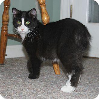 Domestic Mediumhair Kitten for adoption in Fairfax, Virginia - Jigglypuff