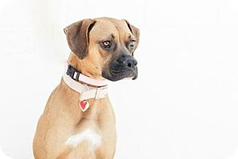 Boxer/German Shepherd Dog Mix Puppy for adoption in Santa Monica, California - Cannoli