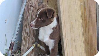 Australian Shepherd Puppy for adoption in Aurora, Colorado - Alamo