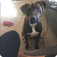Boxer/Labrador Retriever Mix Dog for adoption in Houston, Texas - Tyson