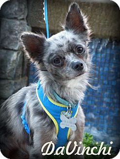 Chihuahua Dog for adoption in Anaheim Hills, California - DaVinchi