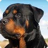Adopt A Pet :: URGENT ON 12/10 San Bernardino - San Bernardino, CA