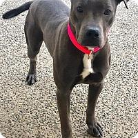 Adopt A Pet :: JULIET (Auburn) wiggly sweet petite pitty girl - Bainbridge Island, WA