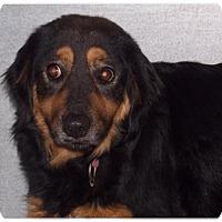 Adopt A Pet :: Vonda - Billerica, MA