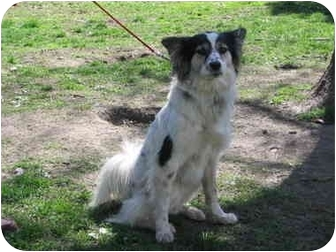 American Eskimo Dog Australian Shepherd Mix Dog for adoption in    Australian Eskimo