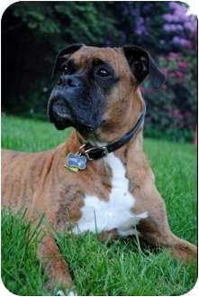 Boxer Dog for adoption in Grafton, Massachusetts - Simba
