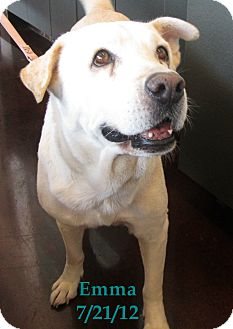 Labrador Retriever/Shar Pei Mix Dog for adoption in Chandler, Arizona - Emma
