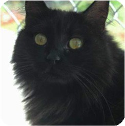 Domestic Mediumhair Cat for adoption in El Cajon, California - Venus