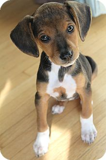 Beagle Mix Puppy for adoption in Hamburg, Pennsylvania - Annie Faith