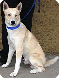 Shepherd (Unknown Type)/Husky Mix Dog for adoption in Gilbert, Arizona - Teddy